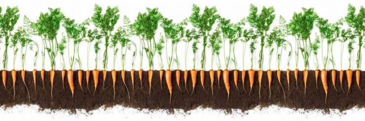faire une diff rence un tubercule de carotte la fois le must. Black Bedroom Furniture Sets. Home Design Ideas